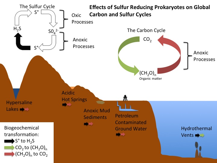 Sulfur Reducing Bacteria And Archaea Microbewiki