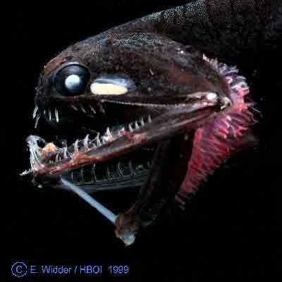 Deep sea fish microbewiki for Deep sea fish