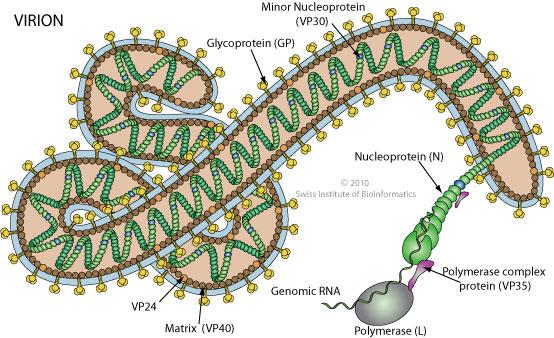 [Image: Ebola_Virion.jpg]