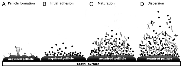 relevance of biofilms in the oral cavity in the formation