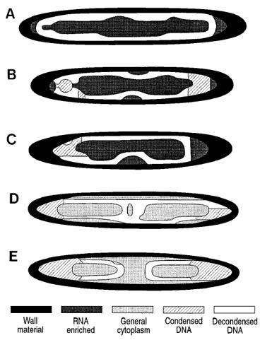 البكتيريا العملاقة Figure_daughter_cell_formation