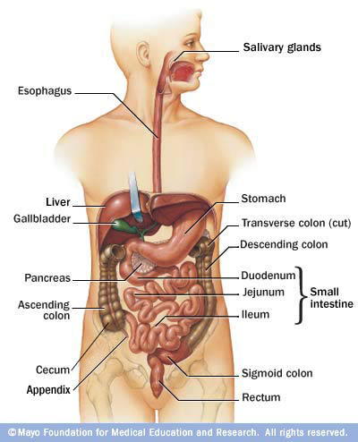 Link Between Microbes and Obesity - microbewiki