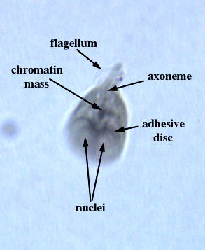 Giardia Under Microscope Labeled