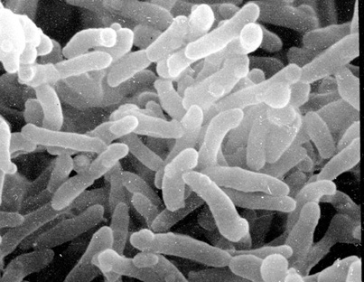 Corynebacterium  LPSN