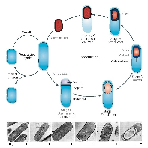 The-key-stages-of-the-sporulation-cycle-in-Bacillus-subtilis-from-Figure-1-of-Errington.png