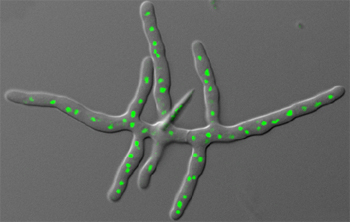 Fungus Ashbya gossypii.  Nuclei are shown in green.  Jaspersen Lab, 2007.