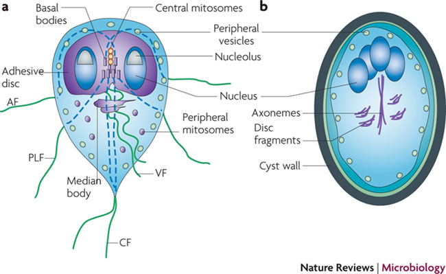The Role Of Giardia Lamblia In Day Cares Microbewiki
