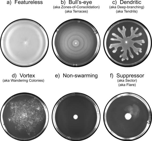 Swarming Motility in P...