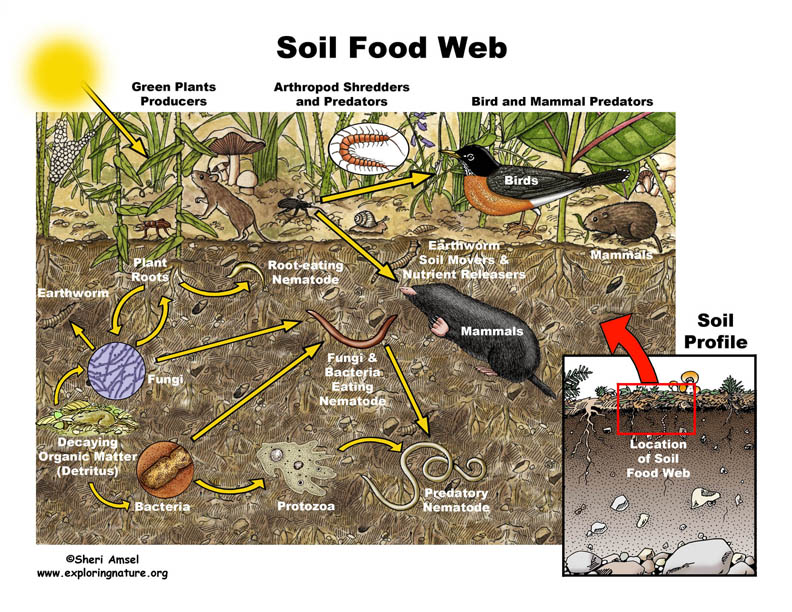 Introduction to organisms microbewiki soil food web and microbial interactions sciox Choice Image