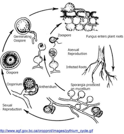 Asexual and Sexual Reproduction Cycles of Pythium oligandrumOomycetes Life Cycle