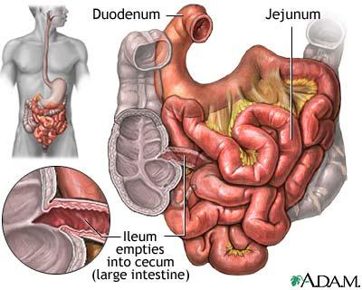 Small Intestine - microbewiki