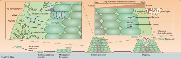 Microbial biofilm inhibits wound healing - microbewiki