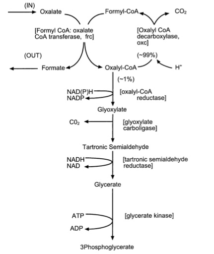 Oxalate degradation.jpg