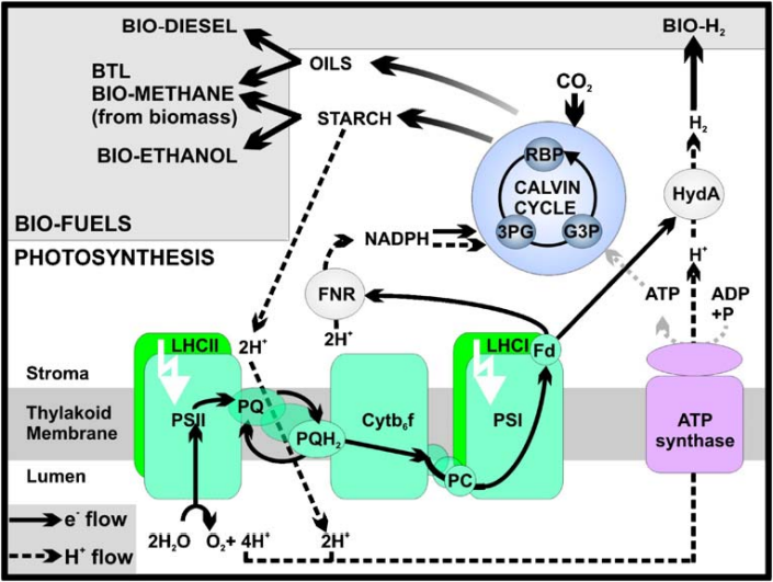File:Fig.5photosynthesis.png