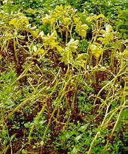 Late blight of potato, caused by Phytophthora infestans.  Image from Mycologue Publications
