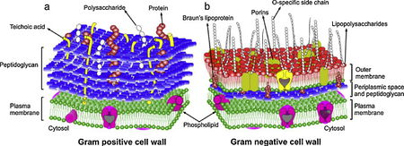 Efficacy of antiseptic treatments microbewiki general comparison of gram positive a and gram negative b bacterial cell wall structure ccuart Gallery