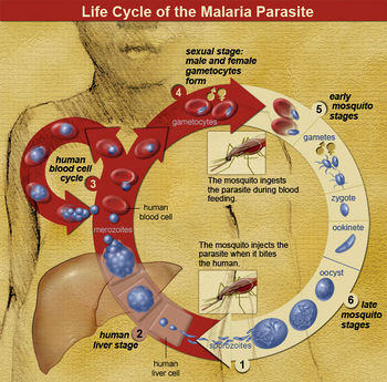 Malaria Resistance and Sickle Cell Trait - microbewiki