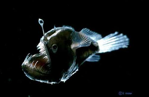 deep sea fish microbewiki