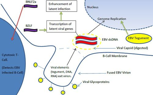 a diagram of ebv proteins (yellow), dna (red), rna (purple) transduced by  virions to b-cell hosts  human host factors are shown in blue