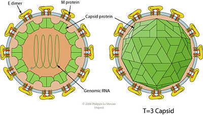 Sense RNA Virus: West Nile Virus - microbewiki