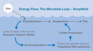300px Microbial_loop2