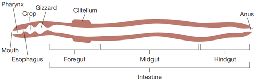 Earthworm gut diagram diy wiring diagrams flavobacterium denitrificans microbewiki rh microbewiki kenyon edu simple earthworm diagram color coded earthworm diagram ccuart Choice Image