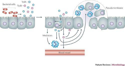 toxin b clostridium difficile