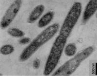 thermus thermophilus microbewiki