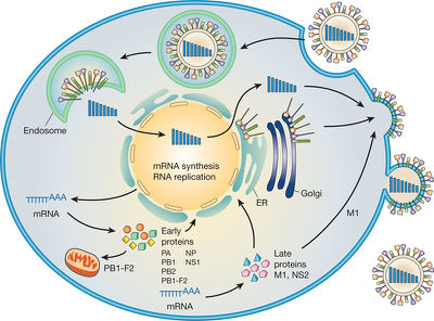 The Threat of Airborne Transmission of Influenza A: H5N1 ...  The Threat of A...