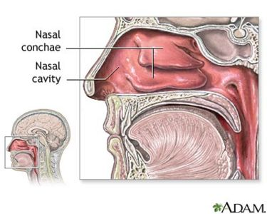 nasal passageway - microbewiki, Cephalic Vein