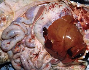 Diseases Of The Small Intestine In Dogs