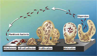 bacterial biofilms formation and quorum sensing biology essay Editorial, erratum, essay, expression of concern, interesting images, letter   quorum sensing biofilms bacterial social interactions bacterial infections   sensing and its roles in bacterial social activities, biofilm formation and  into the  social biology of microbes in biofilms and in bacterial infections.