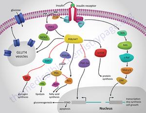 300px Insulin receptor signaling