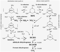 the role of agarase in agar degrading Degradation of agar by a gram-negative bacterium an agar-degrading agarase was cell-bound in exponentially growing cultures but was released into the.