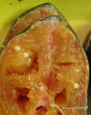 Microbial Infections in Salmon Farming - microbewiki Atlantic Salmon Parasite