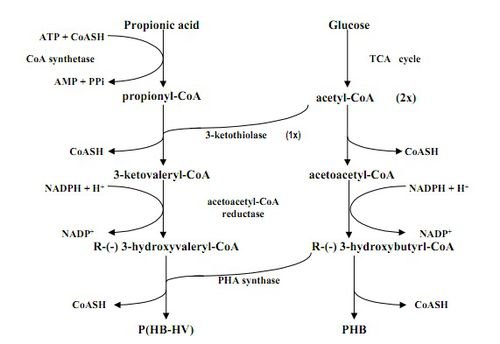 enzymes used to synthesise biopol Two biotechnological processes involving halophiles are highly successful: the production of β‐carotene by the green alga dunaliella and the production of ectoine (1,4,5,6‐tetrahydro‐2‐methyl‐4‐pyrimidinecarboxylic acid), used as a stabilizer for enzymes and now also applied in cosmetic products, from moderately.