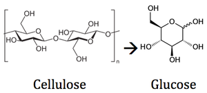 Cellulose Degradation in the Rumen - microbewiki