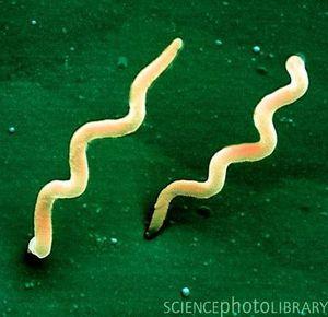 nyheder samfund overlaege om ny borrelia bakterie ingen grund til panik