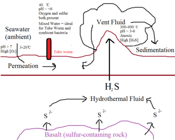 FIG.2. A simple rendition of the circulation of sulfur near hydrothermal vents, and the rough interface at which the Riftia pachyptila and symbiotic thioautotrophic bacteria thrives.