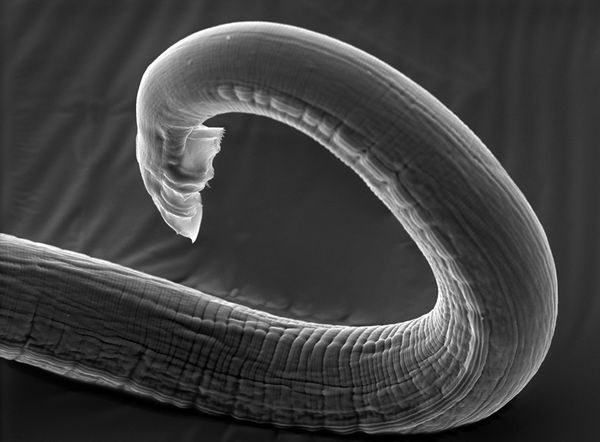 c elegans Caenorhabditis elegans is a species of nematode (roundworms) this little worm has been of great interest because it has a well-structured neural system which is at the same time primitive enough for mapping neuronwise.