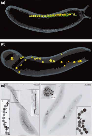 bacterial magnetosomes synthesized by magnetotactic bacteria 27082014 life with compass: diversity and biogeography of  magnetotactic bacteria and magnetosomes  magnetotactic bacterial abundance in.