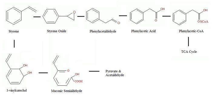 Pseudomonas Putida S Role In The Bioremediation Of Plastic