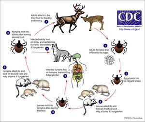Global Travel And Spread Of Infections besides municable Diseases Types Causes Symptoms likewise Ehrlichia  tick Borne pathogen in canines and humans as well Infection Control Practices additionally Internal  bustion Ic Engines. on indirect contact transmission
