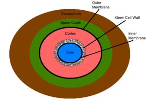 300px Figure_3_endospore_structure bacterial endospores microbewiki