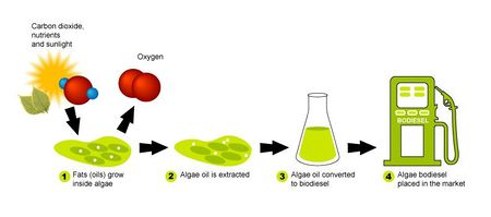 algal biodiesel thesis Microalgal biofuel: isochrysis sp & phaeodactylum tricornutum lipid characterization and physiology studies tyler jay goepfert msc thesis defense 15 march 2010 oldenburg, germany.
